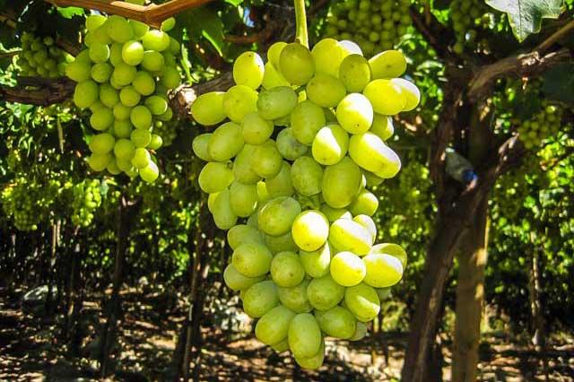 diagnofruit-manejo-de-uva-de-mesa-exportacion-chile